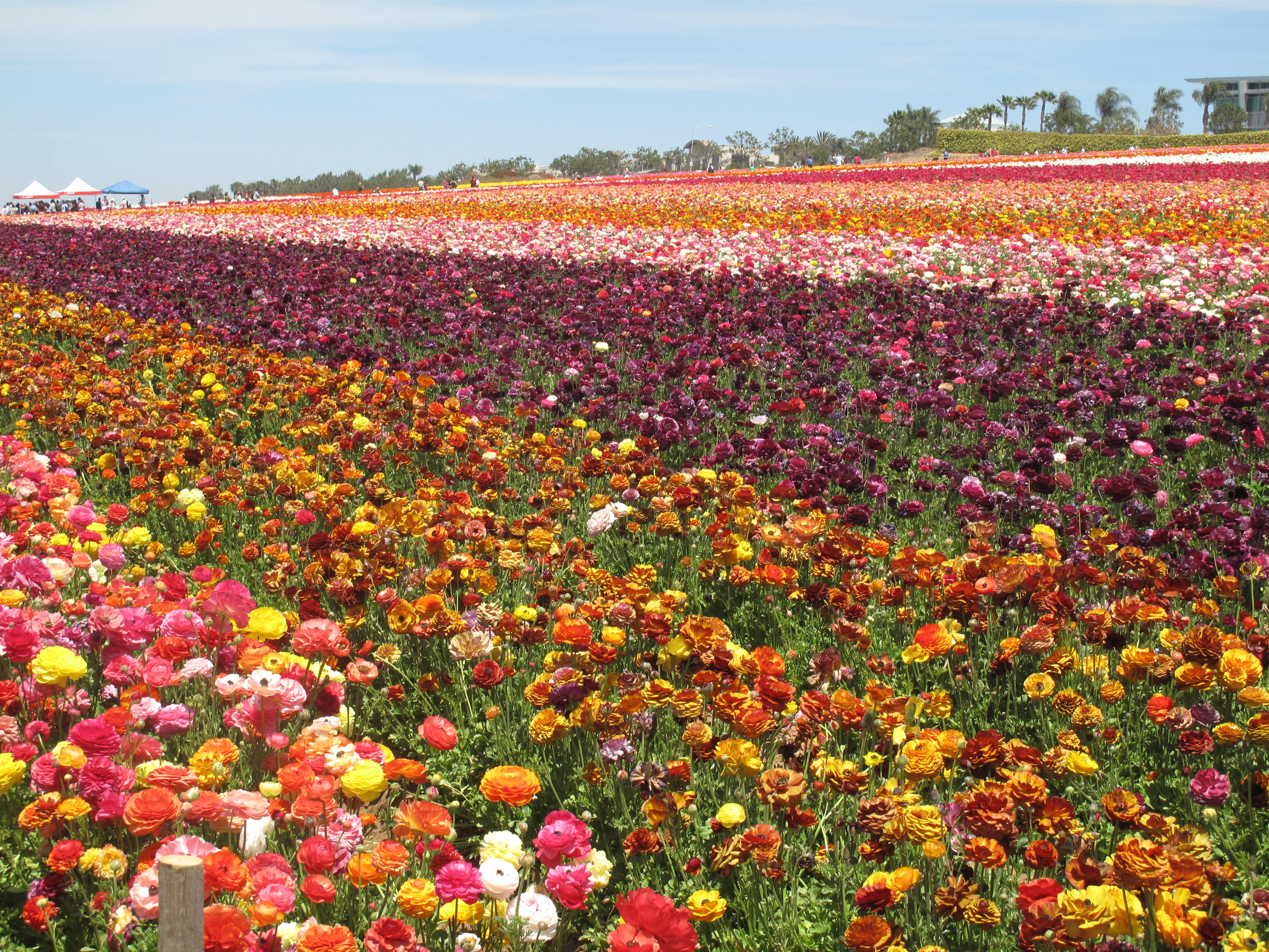 The Flower Fields Are Ablaze With The Beauty of Color