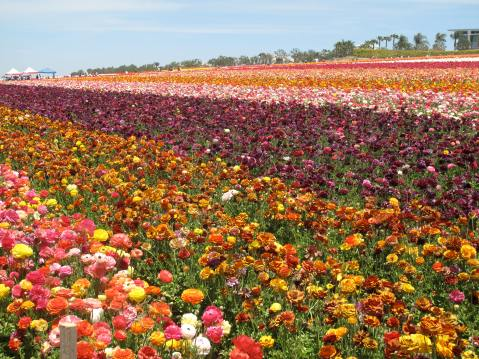 Flower Fields, Carlsbad - San Diego