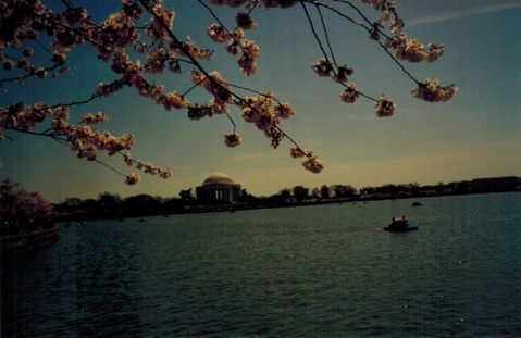 Cherry Blossoms, Jefferson Memorial, Washington, DC