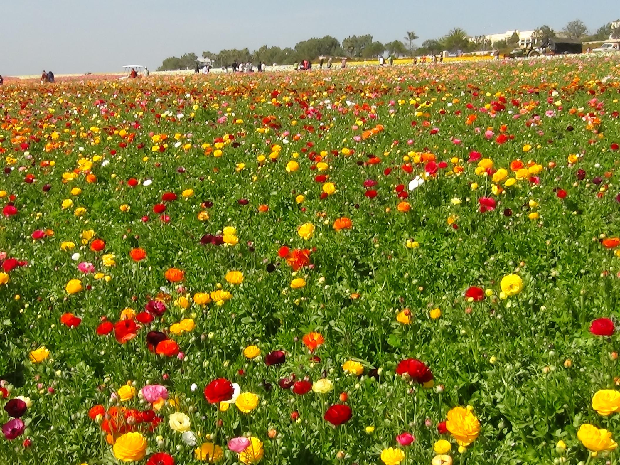 Flower Fields Carlsbad CA