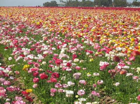 The Flower Fields, Carlsbad, CA - San Diego