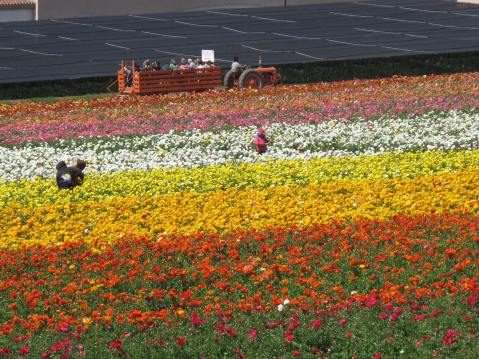 The Flower Fields, Carlsbad, CA - on March 30, 2013