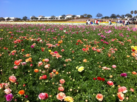 The Flower Fields, Carlsbad, CA (San Diego)