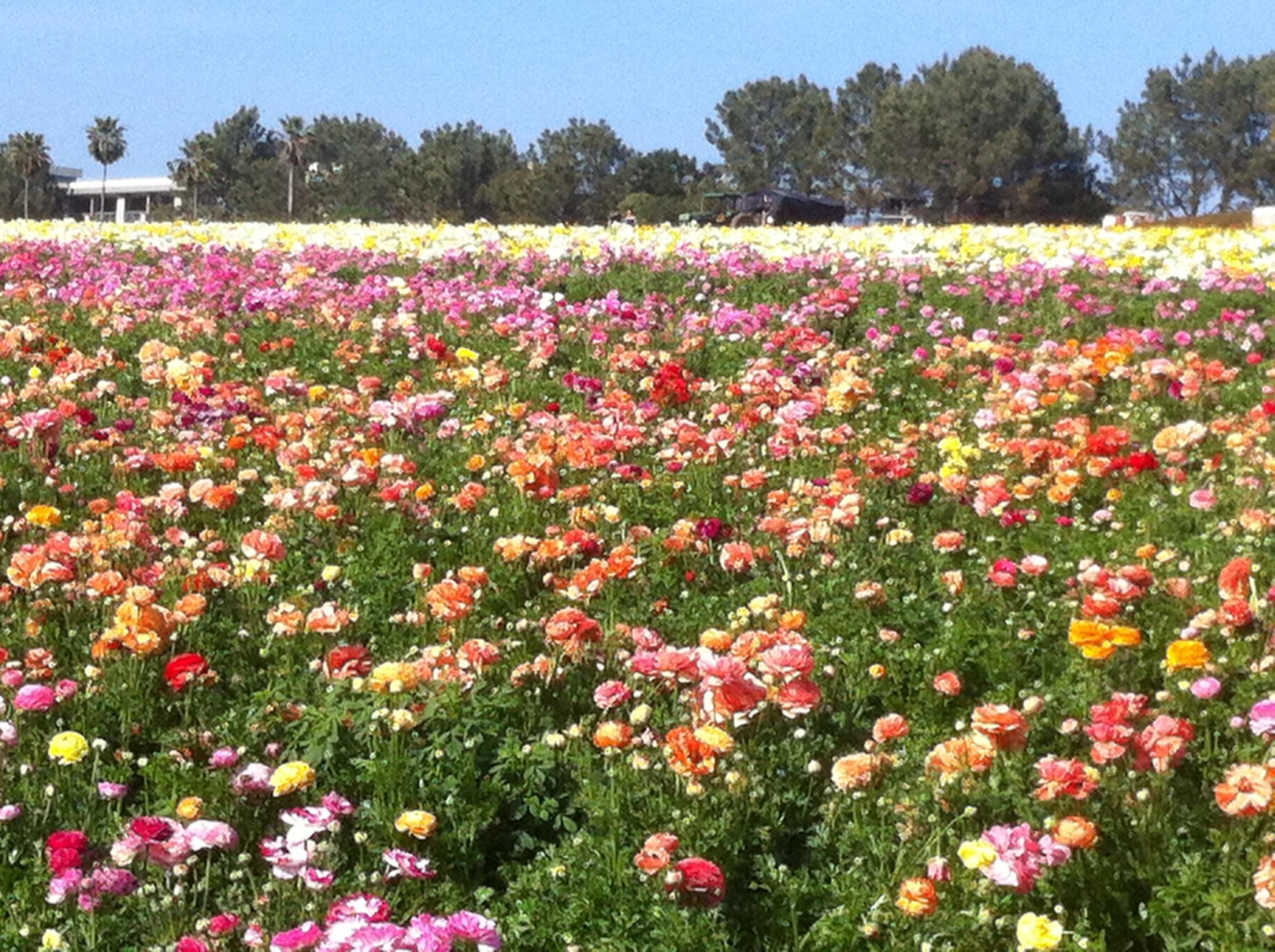 Flower Fields Carlsbad CA San Diego