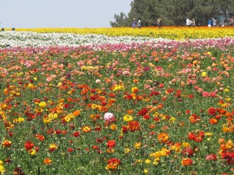 The Flower Fields, Carlsbad - San Diego