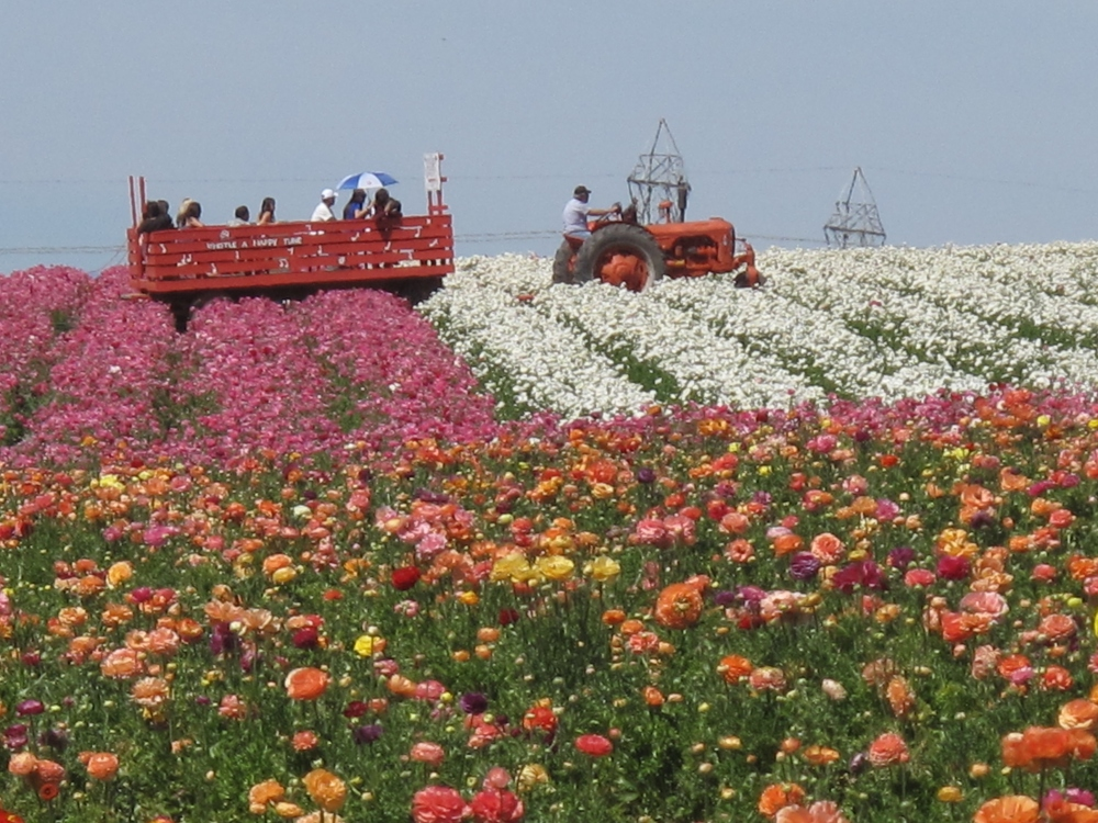 The Flower Fields Are Blooming Beautiful! (1/6)