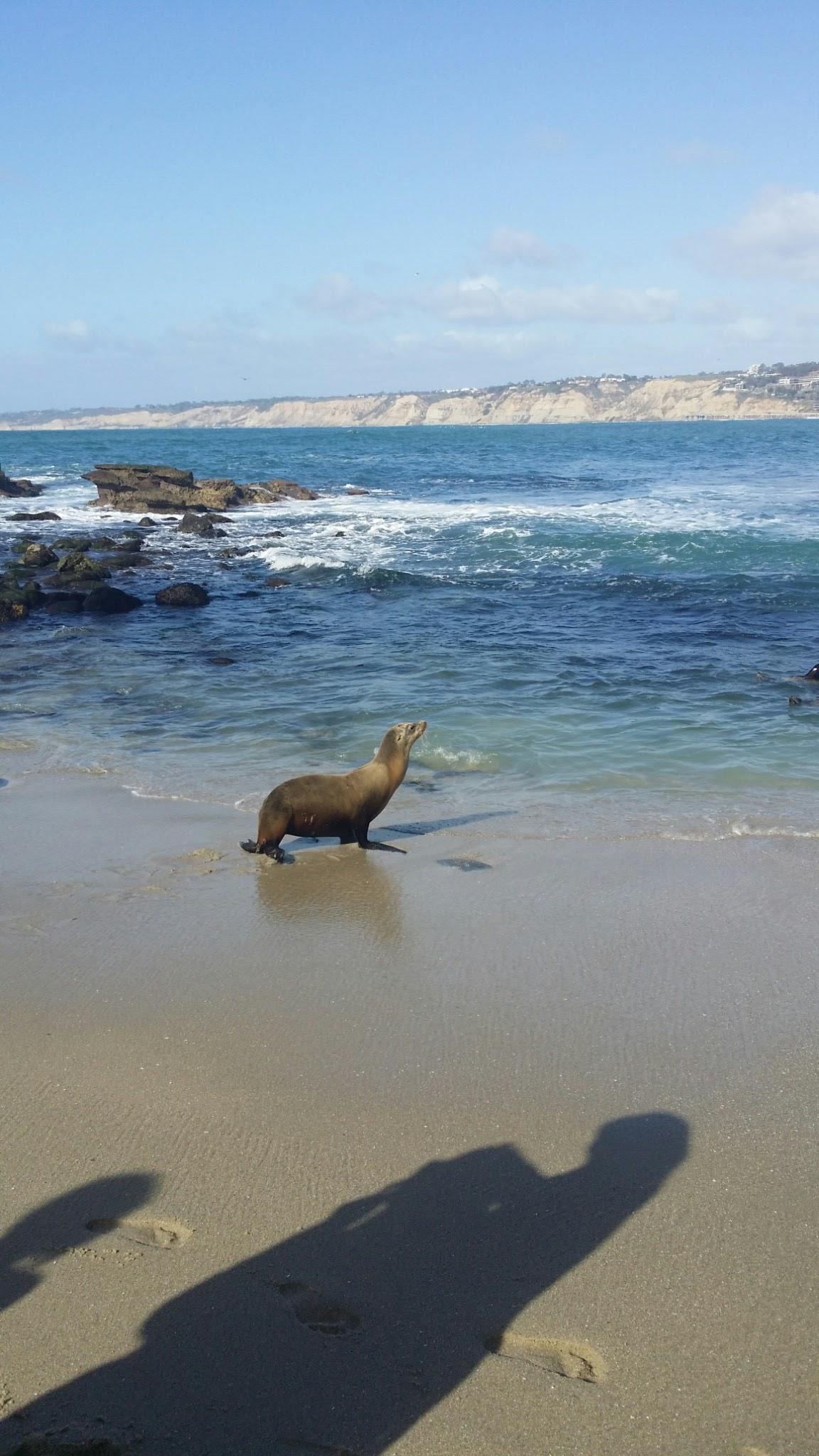 Sea lion at La Jolla Cove, San Diego