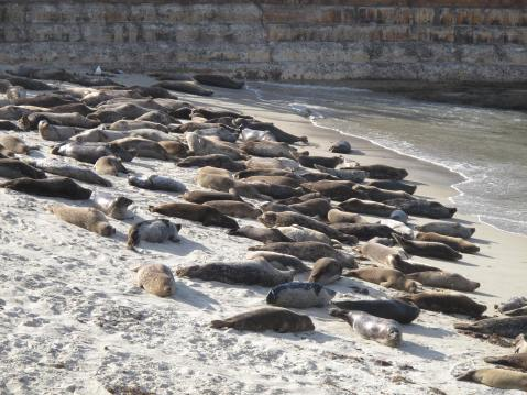 The Seals at La Jolla Cove, San Diego